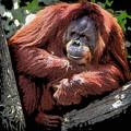 Cartoon Comic Style Orangutan Sitting In Tree Fork by Elaine Plesser