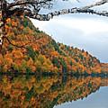 Cascade Birch by Tony Beaver