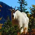 Cascade Range Mountain Goat by Daniel Mazzei