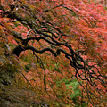 Cascading Japanese Maple by Wes and Dotty Weber
