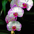 Cascading Orchid Beauties by Sue Melvin