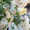 Cascading White Roses by Carol Groenen