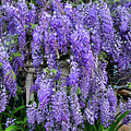 Cascading Wisteria 2 by Kaye Menner