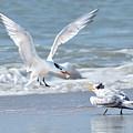 Caspian Tern Feeding Young by Alan Lenk