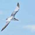 Caspian Tern Soars by Alan Lenk