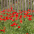 Castro Poppies Along The Fence by Teresa Wilson