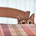 Cat Hiding Under The Table by Alfio Finocchiaro