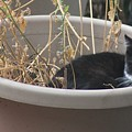 Cat In Flower Pot. by Cliff Ball