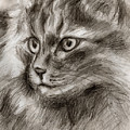 Cat Study Drawing No Two by Hiroko Sakai