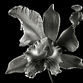Catalea Orchid In Black And White by Endre Balogh