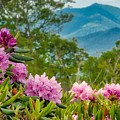Catawba Rhododendron At The Craggy by Dana Foreman