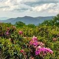 Catawba Rhododendrons by Dana Foreman