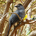 Catbird In Spring by Dianne Cowen