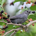 Catbird Scores A Mulberry by Linda Crockett