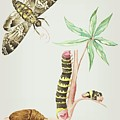 Caterpillar On Cassava And Turns Into A Moth In Four Weeks By Cornelis Markee 1763 by Cornelis Markee