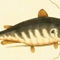 Catfish by Mark Catesby