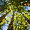 Cathedral Grove At Muir Woods by Brian Tada
