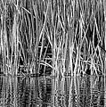 Cattail Reflection  by Britt Runyon