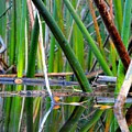 Cattail Reflections by Trinket's  Legacy