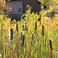 Cattails And Barn by Roupen  Baker