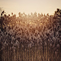 Cattails At Dusk by Heather Applegate