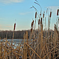 Cattails At Skymount Pond Pa by Mother Nature
