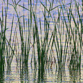Cattails In The Lake by Tom Janca