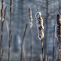 Cattails In The Winter by Sumoflam Photography
