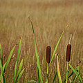 Cattails In Yellowstone's Upper Geyser Basin by Bruce Gourley