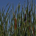 Cattails by Kathy Kirkland