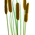 Cattails, Typha Latifolia, X-ray by Ted Kinsman