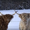 Cattle Cousins by LuAnn Griffin