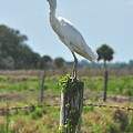 Cattle Egret by Amy Spear