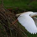 Cattle Egret Begins Flight With Nest Materials - Digitalart by Roy Williams
