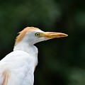 Cattle Egret Close-up by Al Powell Photography USA