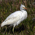Cattle Egret  by Elizabeth Winter