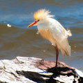 Cattle Egret In Breeding Plumage by Rich Leighton