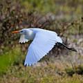Cattle Egret In Flight by Jim Lapp