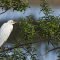 Cattle Egret In The Morning Light by David Watkins