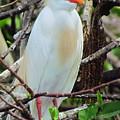 Rainbow Bill Cattle Egret by Lori Pessin Lafargue