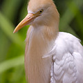 Cattle Egret by Louise Heusinkveld