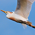 Cattle Egret On The Wing by Christopher Holmes