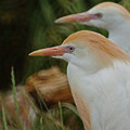 Cattle Egrets Dry Brushed by Ernie Echols