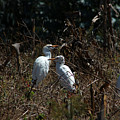 Cattle Egrets In A Pasture by Robert Hamm
