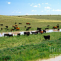 Cattle Graze On Reclaimed Land by Inga Spence