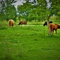 Cattle Grazing In A Lush Pasture by Curtis Tilleraas