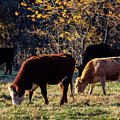 Cattle Grazing In Sunlight  by Susan Vineyard