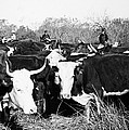 Cattle: Longhorns by Granger