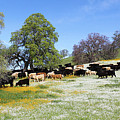 Cattle N Flowers by Diane Bohna