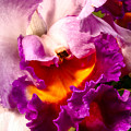 Cattleya IIi by Christopher Holmes